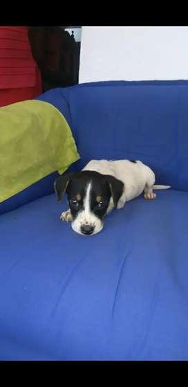 Cachorrita beagle cruce