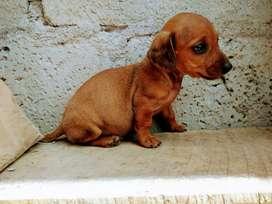 Hermoso cachorrito teckle de 60 días