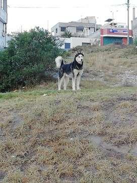 Husky para monta