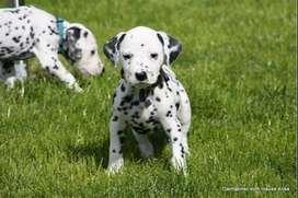 Dalmatas hermosos perritos de gran genética pura ya pecosos