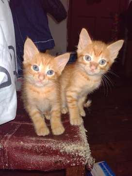 Gatitos cruce de siamés