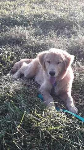 Hermoso cachorro Golden Retriever puro