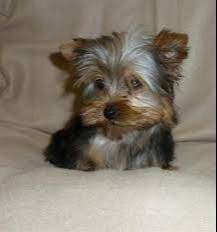 yorkshire terrier de 45 dias muy pequeños con respaldos médicos profesionales