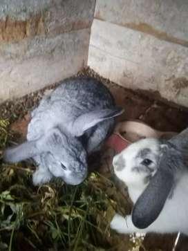 Conejos grandes