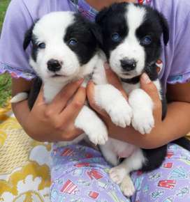 Border Collie Machos Y Hembras