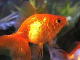 gold fish surtido de 4 a 5 cm por 5 peces