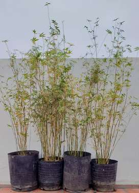 Bambú Gracilis