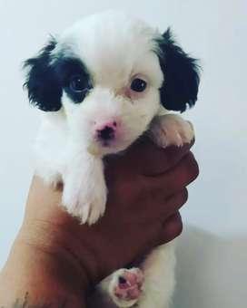 Hermosos machitos french poodle