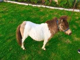 Vendo pareja de pony mini horse