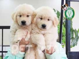 Hermosos cachorros Golden*Beagle*Pug*Bull Terrier*Siberiano*Samoyedo*Bulldog*Schnnauzer*Labrador en Pet Vital