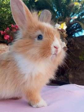 Conejos Enanos para mascota