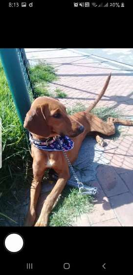Hermosa perrita criolla en adopción