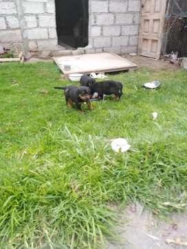 Hermosas cachorras rottweiler