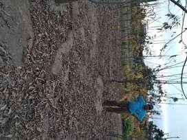 Plantas Pecana