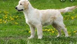 Cachorra Golden retriever