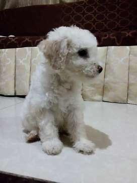 Perritos de raza French poodle