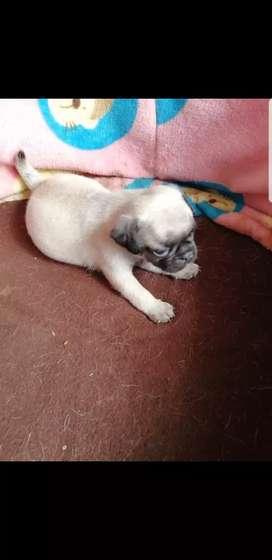 Se vende hermosa cachorra  pug dog