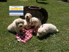 VENTA DIVINOS E INIGUALABLES GOLDEN RETRIEVER DORADOS