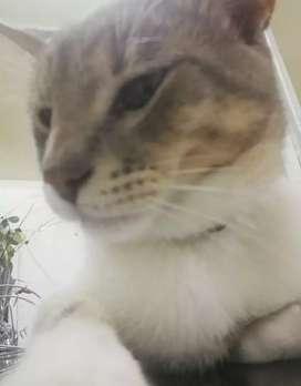 Vendo Gato Siames de 11 Meses