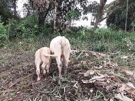 venta de ganado charolais