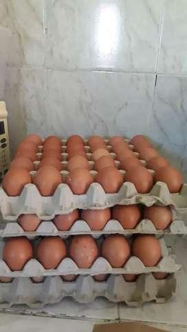 Se venden huevos al mayor y al detal criollos semicriollos