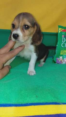 Beagle Mini Toy Raza Chiqui