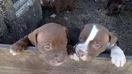 PITBULL STANFORT LINE AMERICANA MUY BUENA GENETICA GARANTIZADOS Tenemos los mas bello cachorro con garantia de pureza 10