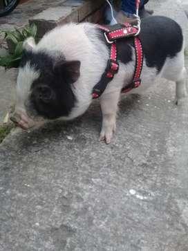 Cerdo Minipig