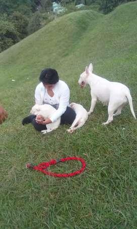Venta de cachorros bull terrier