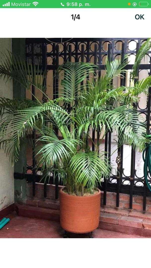 Hermosas palmas tengo variedad de tamaños van con las materad de barro