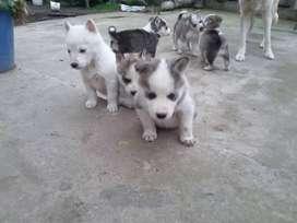 Lobos husky siberiano