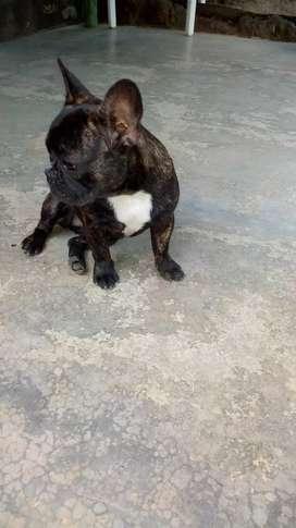 Vendo bulldog frances cachorra 6 meses de edad