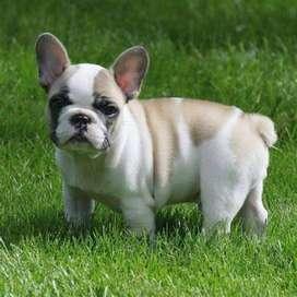 bulldog frances hermosos gordos muy tiernos y apegados a sus dueños