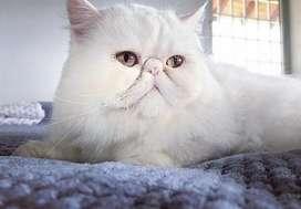 Hermoso gato persa para montas