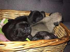 Pug carlino negros hembra y machos hermosos