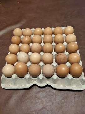 Huevo de campo en maple