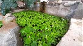 Lentejón de agua (Limnobium laevigatum) Planta acuática