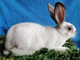 Conejo Rex Mariposa