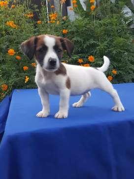 Original Jack Russell Terrier