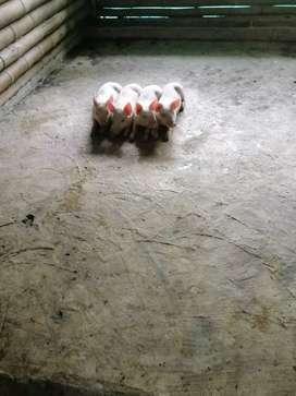Cerdos destetos todo el año de excelente calidad en Caicedonia valle