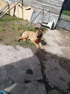 Vendo cachorro Shar pie embra y macho los dos por 6000