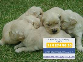 venta preciosos GOLDEN RETRIEVER PURA SANGRE DOCUMENTADOS