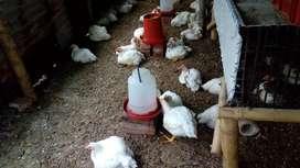 Pollos en pie