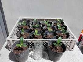 Plantines de arbol de magnolia