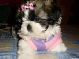 Preciosos schitzu miniaturas doggys
