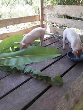 Par de  cerdos  reproductores  de  4  meses