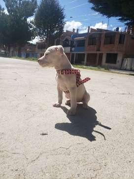 Vendo cachorro pitbull
