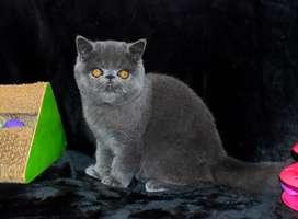 Gato persa exotico