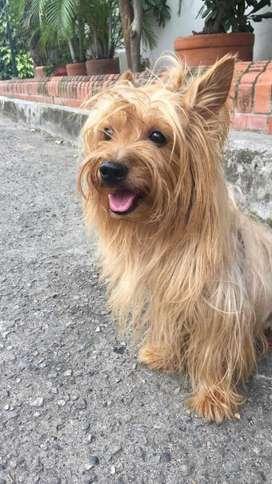 Yorkshire terrier, yorkie macho para monta