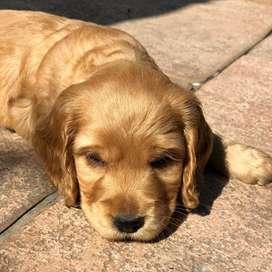 cachorros de 50 días de nacidos con todos los papeles al día